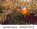 clownfish with sea anemone at... | Shutterstock . vector #1090373213