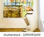 jack russell dog enjoying the... | Shutterstock . vector #1090392650