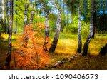 autumn tree in birch tree... | Shutterstock . vector #1090406573