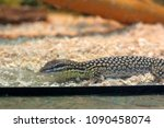 alligator lizard. elgaria... | Shutterstock . vector #1090458074