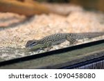 alligator lizard. elgaria... | Shutterstock . vector #1090458080