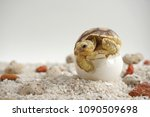 close up baby tortoise hatching ... | Shutterstock . vector #1090509698