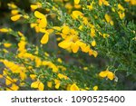 cytisus scoparius  common broom ...   Shutterstock . vector #1090525400