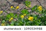flowers of yellow buttercup... | Shutterstock . vector #1090534988