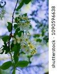 Flowers Of White Fragrant...