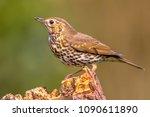 song thrush  turdus philomelos  ... | Shutterstock . vector #1090611890