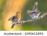 Parent Robin Bird  Erithacus...