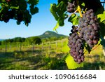 red grapes at vineyard | Shutterstock . vector #1090616684