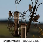 Several House Sparrows On Metal ...