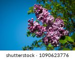 lilac. lilacs  syringa or... | Shutterstock . vector #1090623776