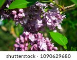 lilac. lilacs  syringa or... | Shutterstock . vector #1090629680