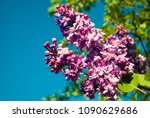 lilac. lilacs  syringa or... | Shutterstock . vector #1090629686