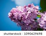 lilac. lilacs  syringa or...   Shutterstock . vector #1090629698