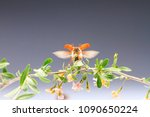 cockchafer flies from the... | Shutterstock . vector #1090650224