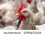 white cock with a red crest | Shutterstock . vector #1090651634