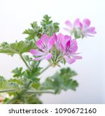 geranium fragrance with pink... | Shutterstock . vector #1090672160