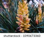 Small photo of Young shoots of pine. Young shoots on the branches of pine. Young shoots of pine trees in the forest spring. bud pollination pinecone, vertical shoot