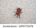 Red palm weevil  red stripes...
