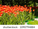 field of red tulips in holland | Shutterstock . vector #1090794884