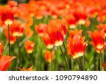 field of red tulips in holland | Shutterstock . vector #1090794890