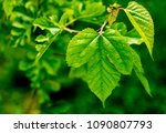 Mulberry Tree Leaves