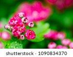 hawthorn  thornapple  crataegus ... | Shutterstock . vector #1090834370