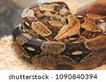 big snake in the terrarium | Shutterstock . vector #1090840394