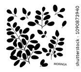 moringa. branch  leaves. black... | Shutterstock . vector #1090873940