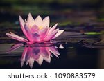 beautiful pink waterlily  ... | Shutterstock . vector #1090883579