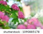 opened sakura buds with dew in... | Shutterstock . vector #1090885178