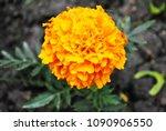 tagetes erecta marigolds... | Shutterstock . vector #1090906550