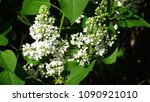 white lilac. white lilac... | Shutterstock . vector #1090921010