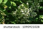 white lilac. white lilac...   Shutterstock . vector #1090921028