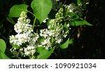 white lilac. white lilac...   Shutterstock . vector #1090921034