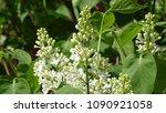 white lilac. white lilac...   Shutterstock . vector #1090921058