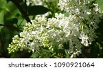 white lilac. white lilac...   Shutterstock . vector #1090921064