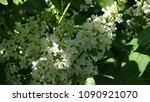 white lilac. white lilac...   Shutterstock . vector #1090921070