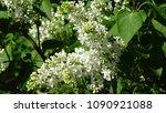 white lilac. white lilac...   Shutterstock . vector #1090921088