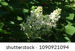 white lilac. white lilac...   Shutterstock . vector #1090921094