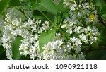 white lilac. white lilac...   Shutterstock . vector #1090921118