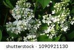 white lilac. white lilac...   Shutterstock . vector #1090921130