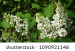 white lilac. white lilac...   Shutterstock . vector #1090921148