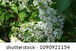 white lilac. white lilac...   Shutterstock . vector #1090921154
