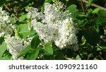white lilac. white lilac...   Shutterstock . vector #1090921160