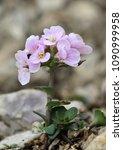 Small photo of Noccaea rotundifolia, wild plant