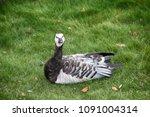 barnacle goose resting on city... | Shutterstock . vector #1091004314