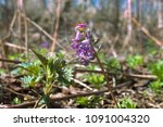 Small photo of Plants ephemerides. Birthwort (Corydalis solida) photophilous mesophyte in light forests of all Europe. Flower on the background of typical biotope in Eastern Europe. Estonia, Poland