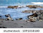 hawaiian green turtles relaxing ... | Shutterstock . vector #1091018180
