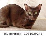 havana brown cat on beige...   Shutterstock . vector #1091039246