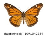 monarch butterfly or simply... | Shutterstock . vector #1091042354